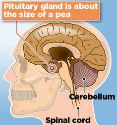pituitary gland position